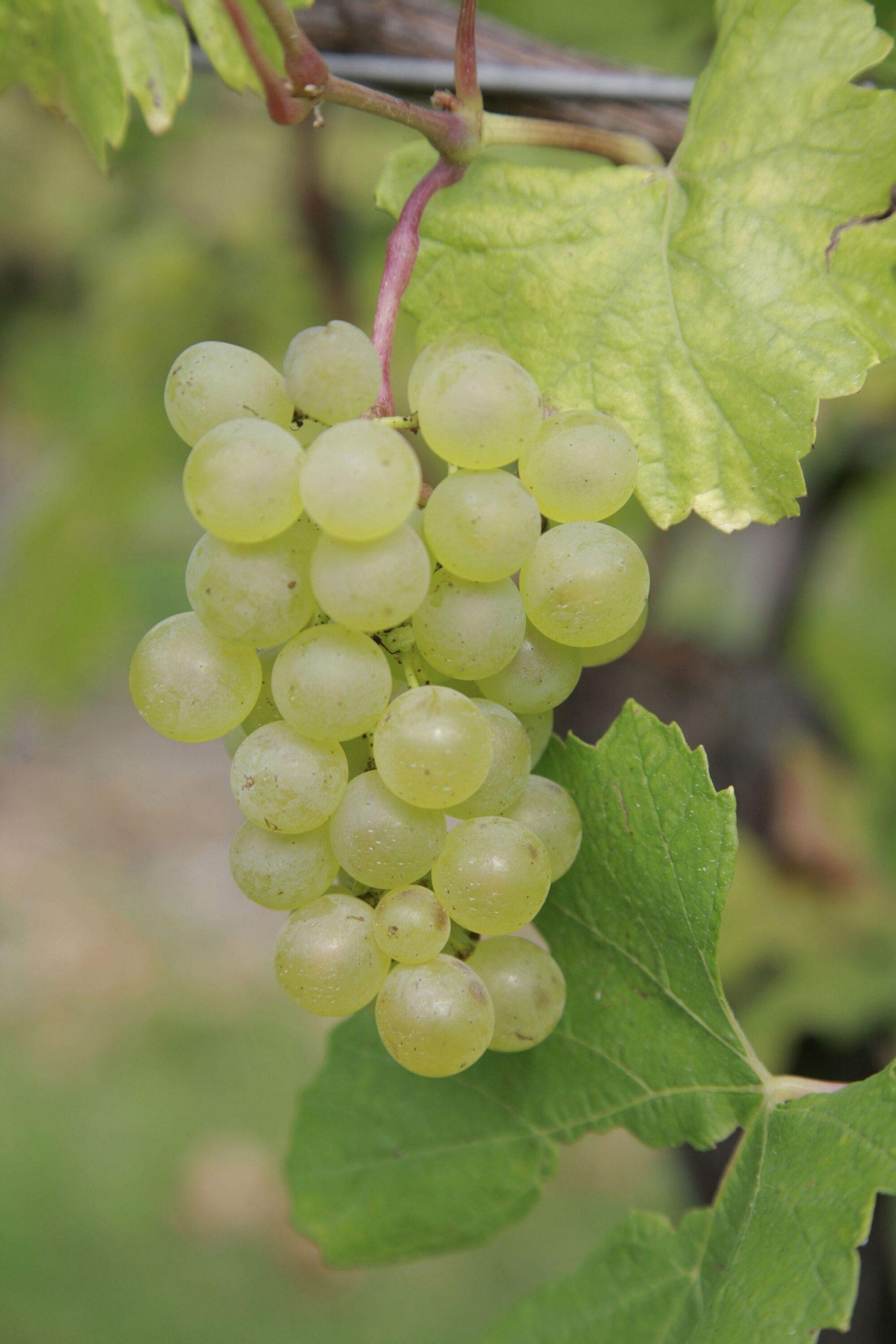 vigne-domaine-thierry-mortet
